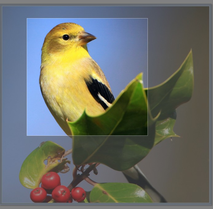 Yellow bird, edited